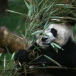giant_panda_silverman-getty-images