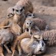 meerkats_gettyimages