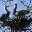 blue-herons_reuters