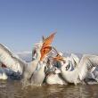 dalmatian-pelican