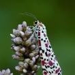 Butterfly Conservation/PA