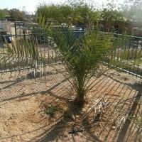 Palmeira Tamareira da Judéia , Wikipedia