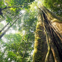 Amazonia_arvore