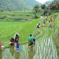 Campos de arroz no Nepal
