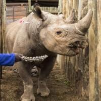 Rhino aguarda para ser transportado para Chad