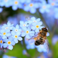 forget-me-not-abelhas